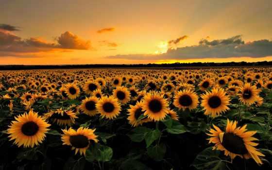 природа, поле, подсолнухов