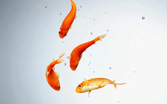 рыбки, золотые, аквариум, water,