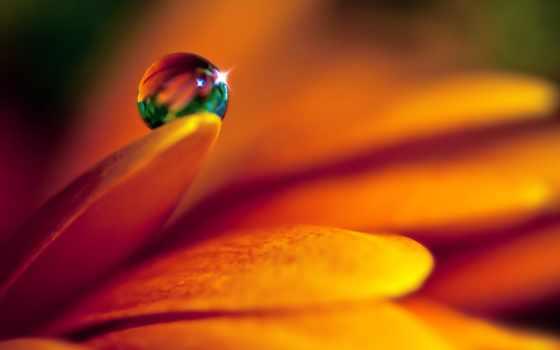 капля,лепесток, цветок,обои