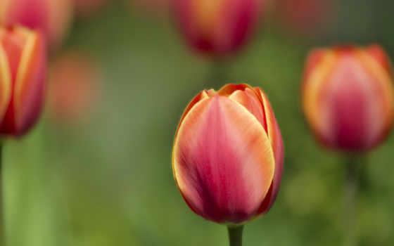 тюльпаны, макро