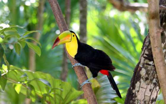 toucan, billed, keel
