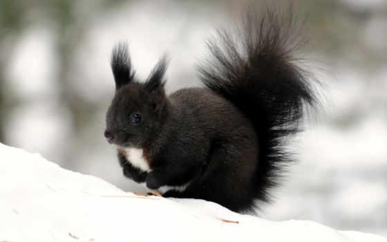 белки, winter, снег, tail, пушистый, окрас,