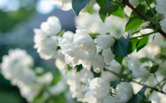 bush, цветение, als, мужчина, жасмина, ist,
