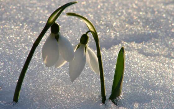 подснежники, весна, cvety, макро, первоцвет, снег, картинка,