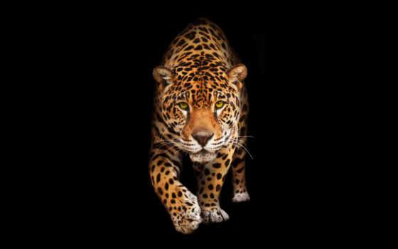 фото, взгляд, фронтовой, portrait, stock, jaguar, zhivotnye, фотообои,
