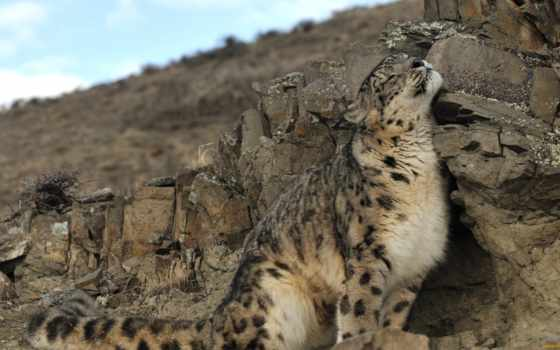 снег, леопард