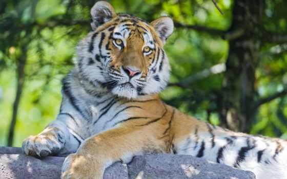 тигр, хищник Фон № 19417 разрешение 1920x1200