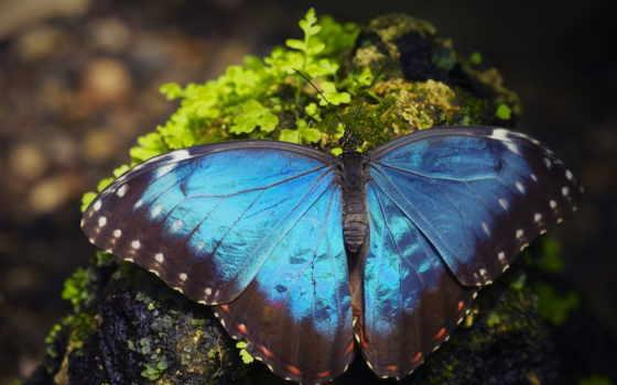 выпуски, gb, бабочка, макро, морфо, пелеида,