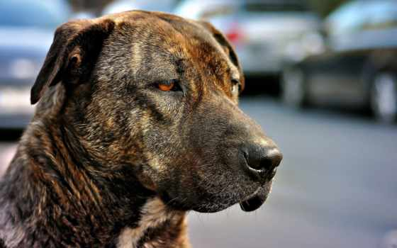 собака, собак, собаки, уши, amstaff, морда, картинка, пород, zhivotnye, смотреть, висячие,