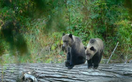 grizzly, медведи, бурые, медведь, zhivotnye, картинка, reki, ветки,