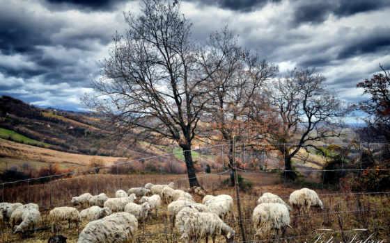 овцы, трава, пастбище, browse, луг, oi, parede, para, imagens, peisaje, tablouri,