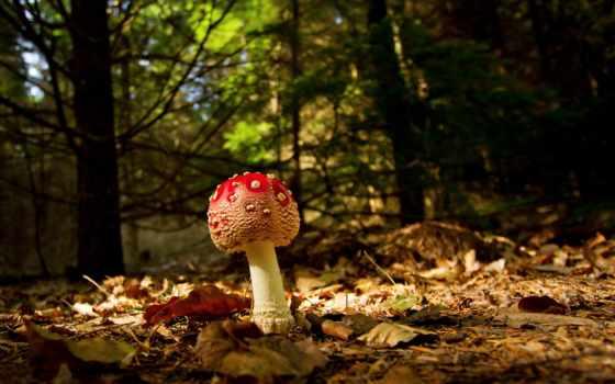 макро, листва, осень, mushroom, мухомор, фоны, лес, branch, категории,