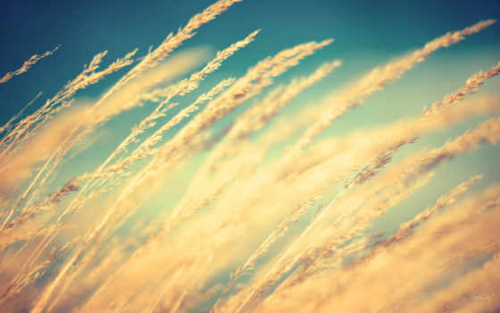 колосья, поле, макро, пшеница, природа, пшеницы, margin, небо, трава, серьги, колоски,