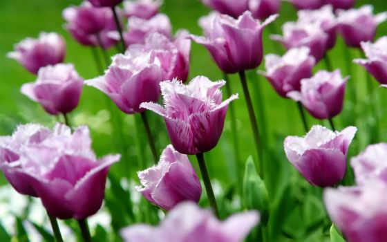 весна, природа, cvety, лепестки, бутоны, тюльпан, тюльпаны, макро, цветы,