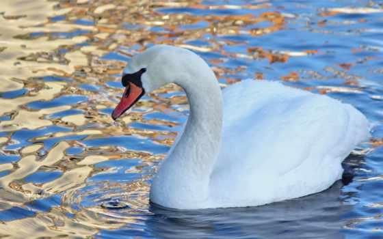лебедь, water, лебеди, птица, красивые, воде, лебедя, white, zhivotnye, яndex,
