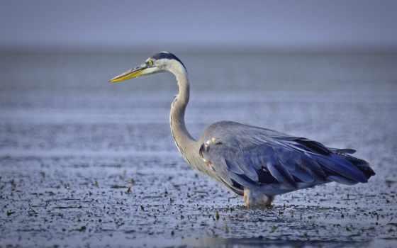 цапля, птица, blue, изображение, картинка, great, water, птицы, озеро,