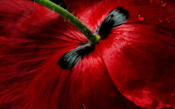 ,тюльпан,цветок,бордовый,
