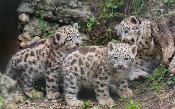 трио, ирбиса, everything, котенка, котята, маленькие, африка, zhivotnye, леопард, сибири,
