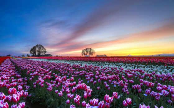 тюльпаны, поле, cvety, разноцветные, trees, вечер, margin,