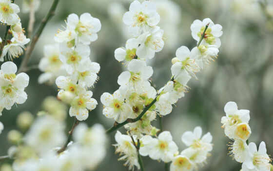 flor, cerezo, flores, cvety, fondos, primavera, весна, pantalla, белые,