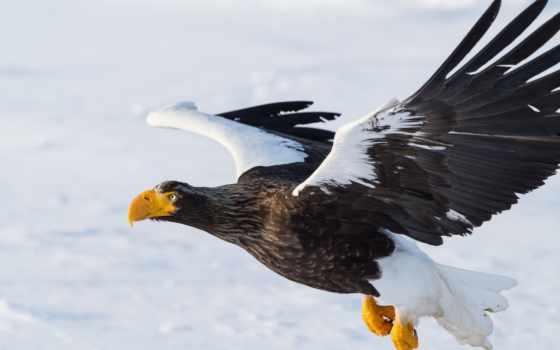 орлан, белоплечий, fonds, природа, россии, ecran, fond, oiseau, animaux, уникальная,