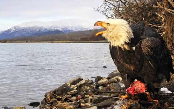 орлан, лысый, американский