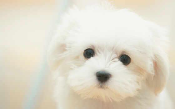 породы, собаки, собак, собака, маленькие, порода, плюшевые, she, характер,
