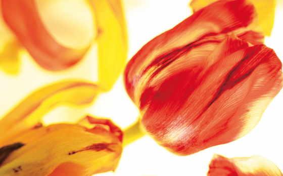 цветы, обоев