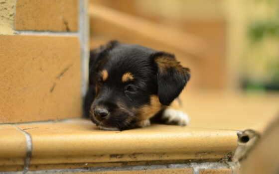 собаки, животные, щенок