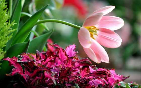 тюльпан, orchidées, ecran, des, сальвия, gratuit, belles,
