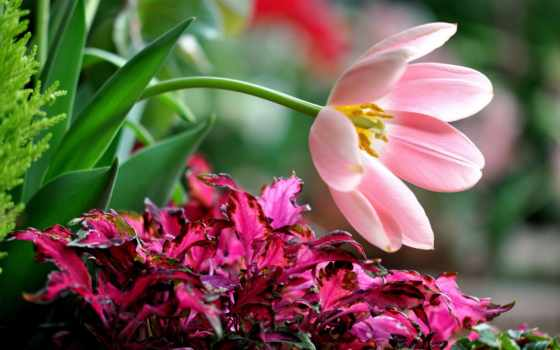 тюльпан, orchidées, ecran
