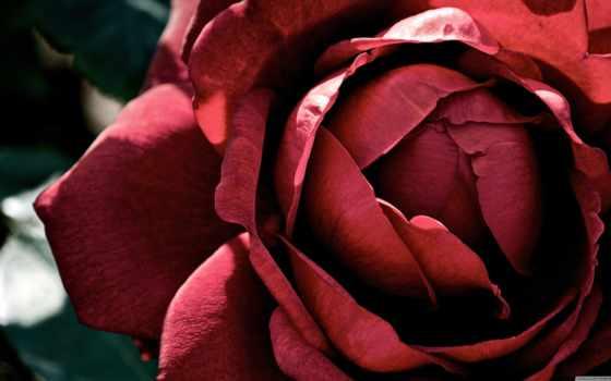 роза, dark, desktop