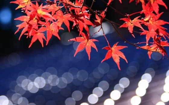 maple, japanese, листья