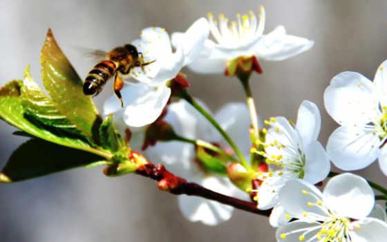 apple, цвету, весна, пчелка,