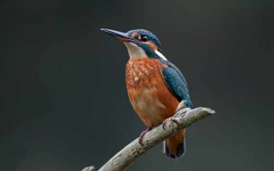 птица, kingfisher, ordinary, branch, alcedo,