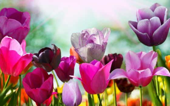 цветы, тюльпаны, картинка, тюльпан, фотообои, фотопечать, тюльпанов,
