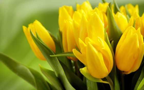 тюльпаны, желтые, цветы, бутоны,