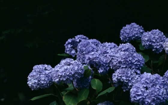 fone, сиреневый, красивые, букет, черном, cvety, гортензия, pictures, красиво,