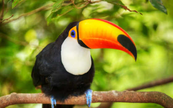 toucan, скинали, изображения, стоковые, птицы, кухни, tucan, птица, изображений, дешевые,
