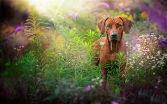 rhodesian, ridgeback, трава