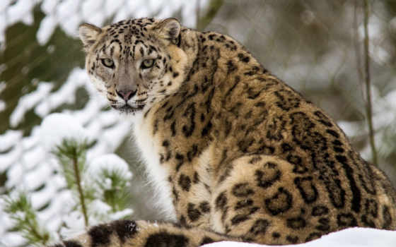 cats, подборка, кот, images, диких, зимних, кошек,