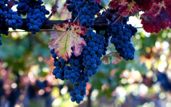 one, листва, виноград, лоза, грозди, рисунки, фрукты, винограда, vitis,