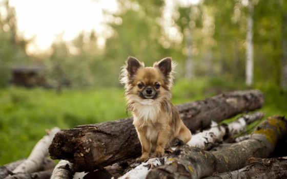 чихуахуа, породы, собак, cane, fotos, standard, собака, cute, dogs,