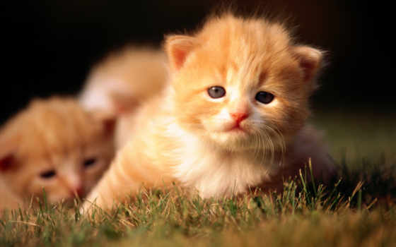 котята, кот