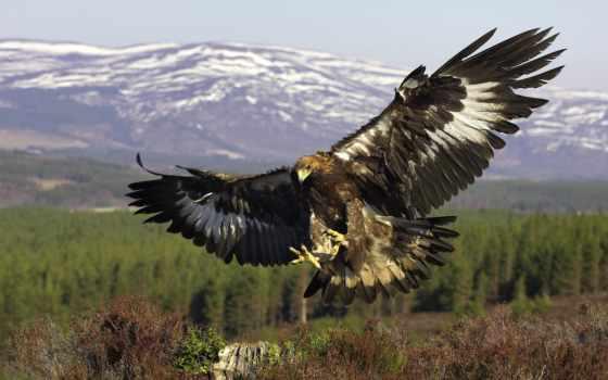 орлан, птица, золотистый