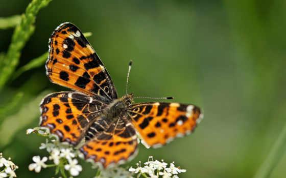 бабочка, high, animal