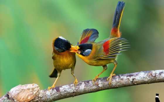 птицы, еда, branch, zhivotnye, leiothrichidae, mobile, kong, рисованные, картинка, fantasy,