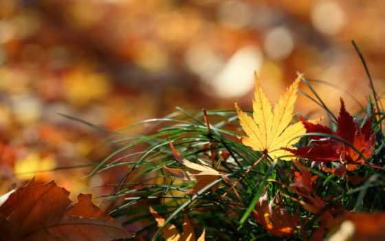 листья, maple, осень, leaf, пасть, природа, макро, desktop,