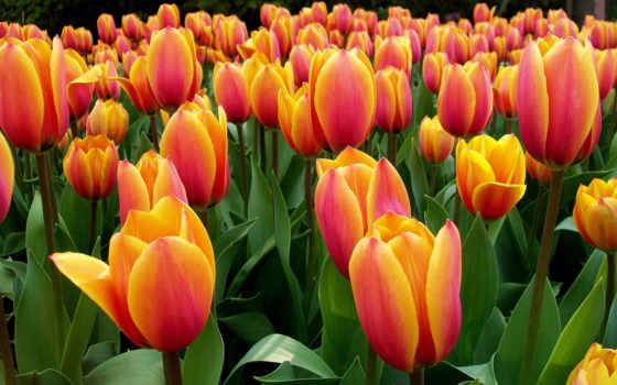 martha, тюльпаны, вася, картинка, pinster, cvety, красные,
