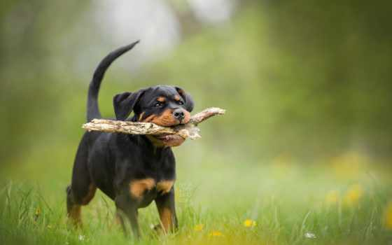 rottweiler, собака, щенок, dogs, images, puppies, bokeh,